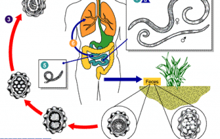 Schema van de levenscyclus van de worm